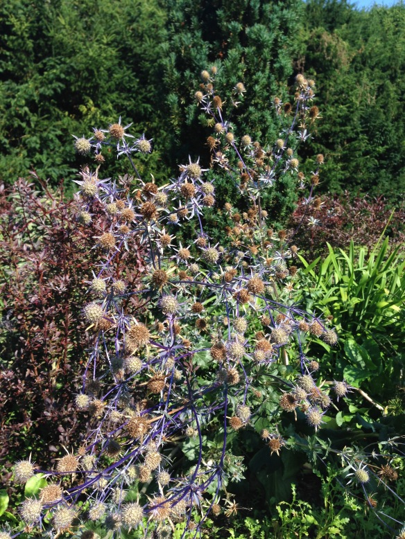 Purple Thistles High Elms