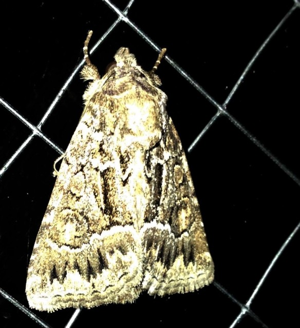 Moth with woman on wings